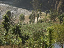 Since the development of the COMDEKS Nepal Landscape Strategy based on the community SEPLS survey results, relevant projects have begun in the landscape. One of the challenges of the target landscape in Nepal is the prevalence of illegal hemp cultivation. As part of COMDEKS activities in the region, there is a project which supports government efforts to ban hemp cultivation, focusing instead on the promotion of alternative livelihoods such as organic vegetable, turmeric, and ginger farming, as well as agroforestry.