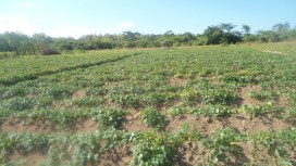 Sweet potatoes and maize may also be grown on the same land. The sweet potatoes utilize the residual moisture in the soil after the maize is harvested. Examination of tilling practices may also lead to improved landscape management.