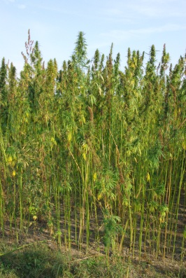 Traditional local crop: hemp