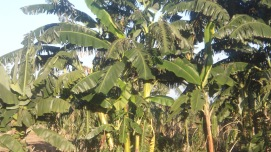 The potential for banana production in the Tukombo-Kande region is evident. Banana crops may provide an alternative livelihood for farmers and fishermen.
