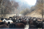 Livestock production, mostly of sheep and goats,  is a critical aspect of the local economy